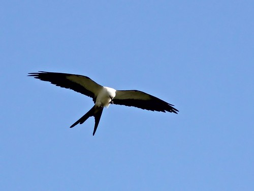 Swallow-tailed Kite 20130414