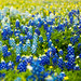 Bluebonnets by paul_717