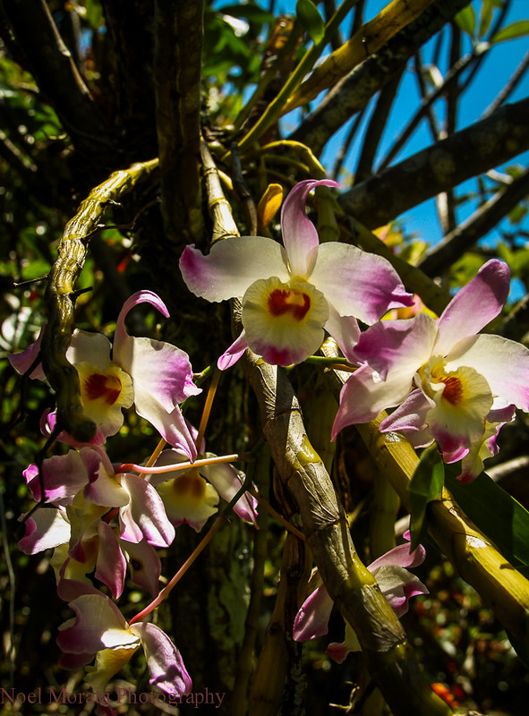 Orchid blooms,Trommer Lilly Farm, Big Island