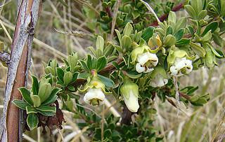 Escallonia myrtilloides