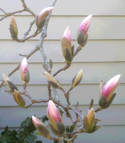 Buds on Magnolia (Posterized Photo) by randubnick