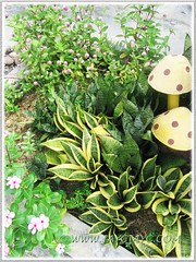 Variegated foliage/flowering plants at our outer garden bed or border