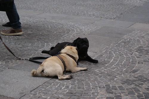 Viennese Pugs