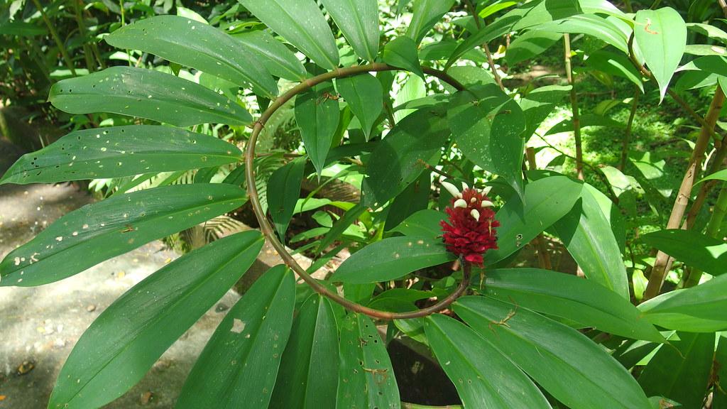 雨林中的P家綠 [MX-1]