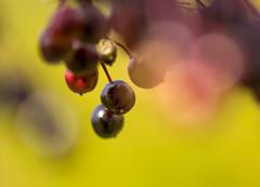 HolderElderberries