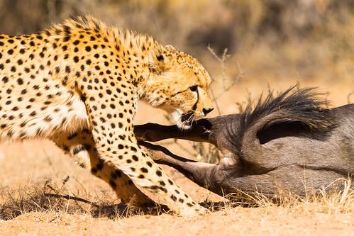 撒哈拉獵豹雖會躲避與人類的接觸,數量卻仍然在減少中。(圖片:Taraji Blue)