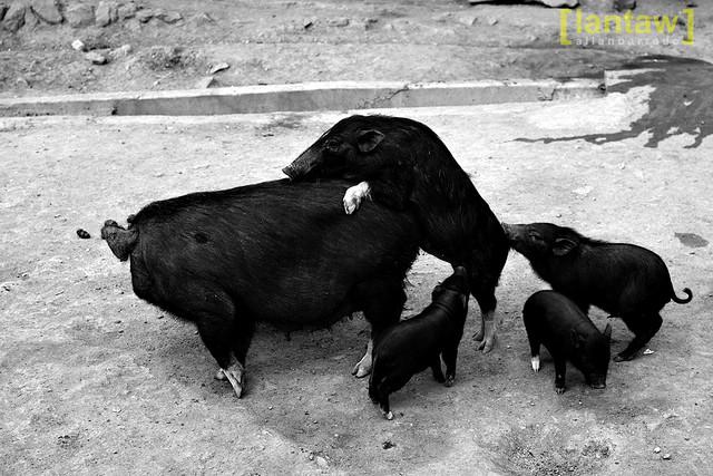 Pig Lovin'
