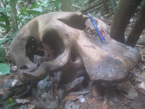 elephant skull in Obenge's forest