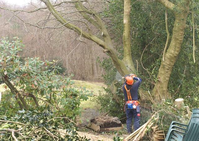 DSC_5725 tree felling