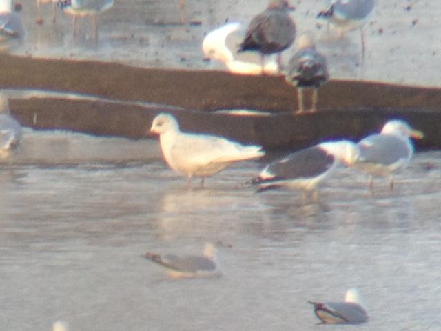 Iceland Gull - Delaware