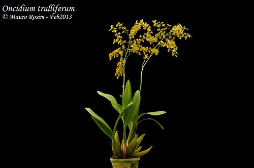 Oncidium trulliferum
