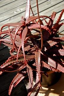 Aloe cameroni