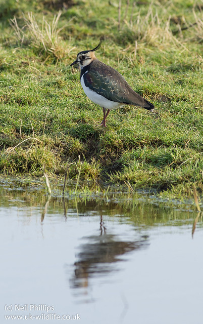 lapwing reflection