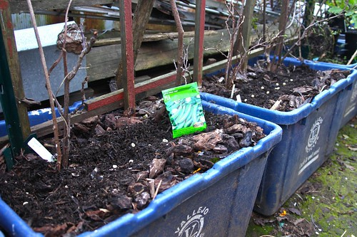 Sowing Sugar Snap Peas