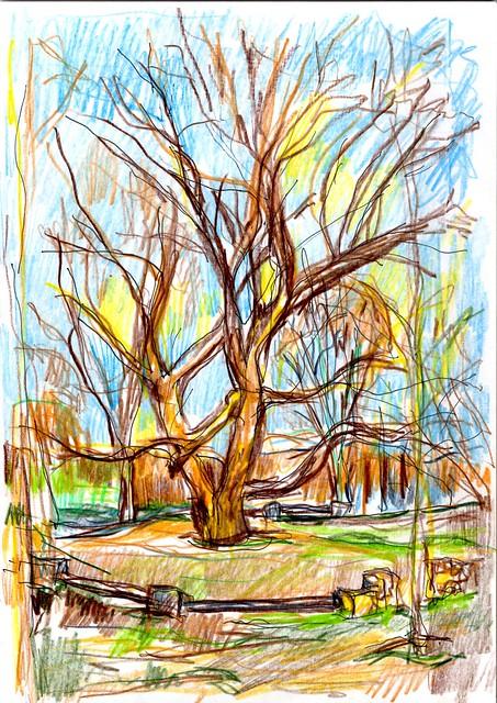 CHOPO, Junto al rio Manzanares, en la carretera hacia el Pardo a la izquierda junto a Somontes, pese a las podas que ha sufrido se presenta impresionante y majestuoso