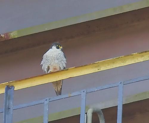 Pilgrimsfalk / Peregrine Falcon
