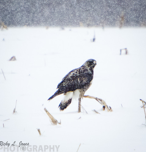 Unidentified Hawk by Ricky L. Jones Photography