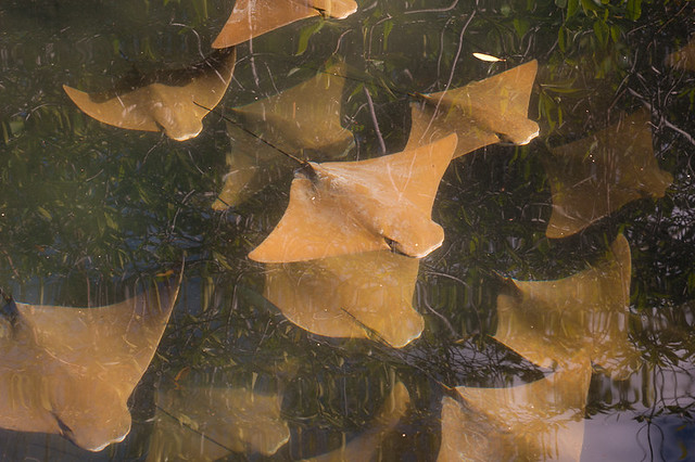 Galapagos fish: Golden Cownose Rays