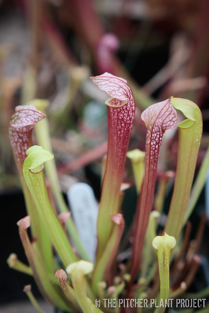 Sarracenia 'Leah Wilkerson' x minor var. okefenokeensis