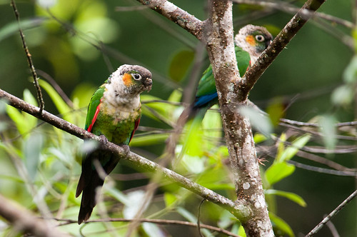 birds animals ecuador parrots zamora animalia vertebrates psittacidae zamorachinchipe whiteneckedparakeet pyrrhuraalbipectus