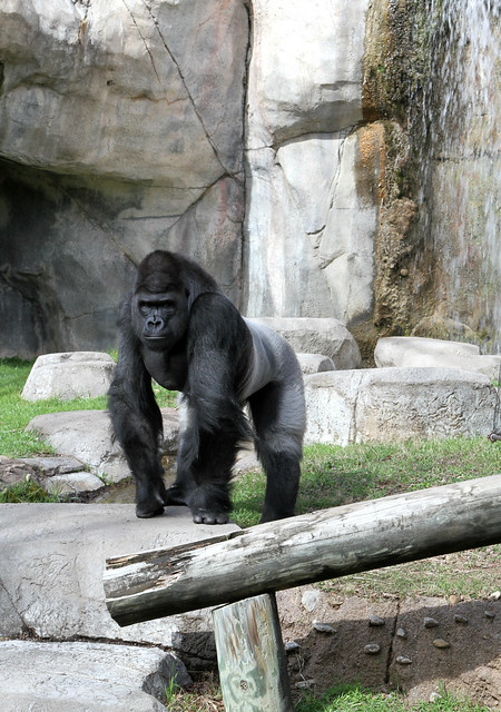 Gorilla by waterfall