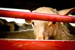 La breve vita degli agnelli