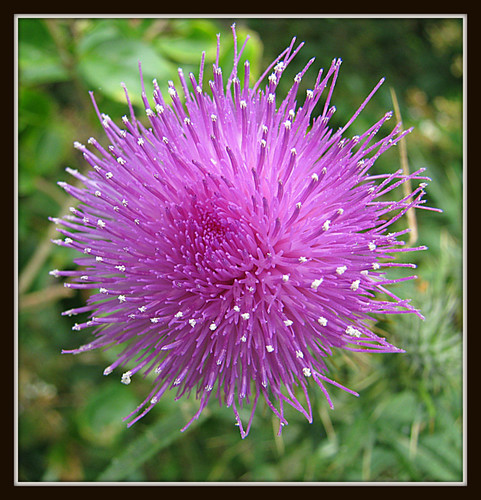 The Beauty Of The Scotch Thistle