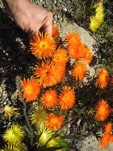 Helichrysum sp. 2
