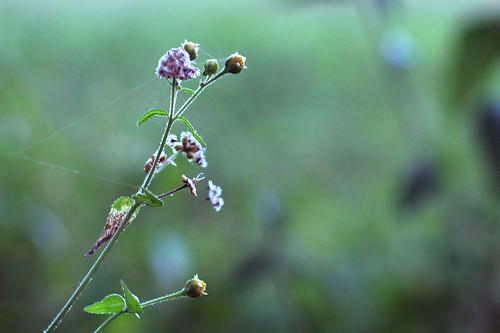 Flores campestres y telarañas - Wild flowers and cobwebs by Carola Lagomarsino