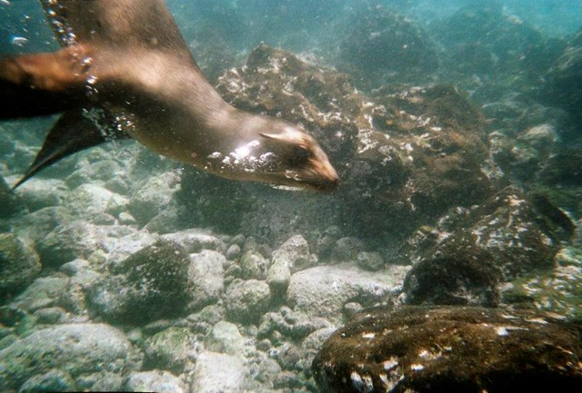 Snorkeling with Sealions, Galapagos