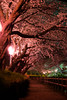 Photo:Cherry blossoms at night By Takashi(aes256)