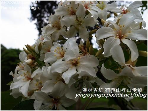 雲林古坑_古坑桐花20130404_R0073386