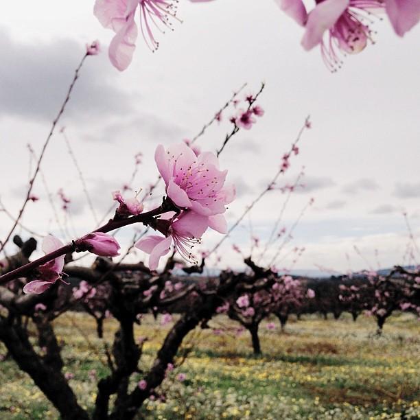 I found it! Ett aprikosfält. Underbart att se en hel aprikosodling stå i (nästan) full blom! Nyklippta träd med grenar som blomma på marken. Tog med mig hem några kvistar till svärmor. Önskar jag kunde ta med mig hem till Sverige!  #PicTapGo #pink #blosso