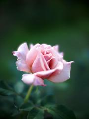 Rose, Tender, バラ, テンダー,