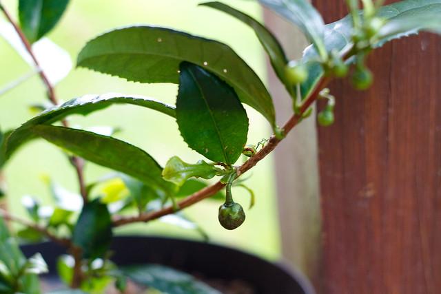 Camellia sinensis - Fruto