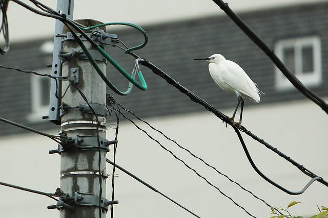 電線で羽休め