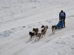 dog, winter, snow, mushing, dog sled, sled dog racing, sled,