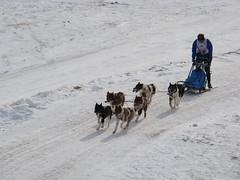 vehicle(0.0), pet(0.0), street dog(0.0), dog(1.0), winter(1.0), snow(1.0), mushing(1.0), dog sled(1.0), sled dog racing(1.0), sled(1.0),