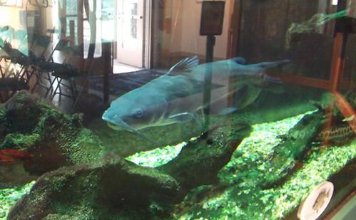 ghost catfish032