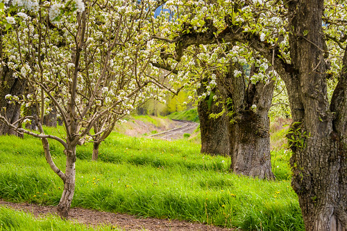 trees tree green oregon spring unitedstates blossom traintracks peach orchard rows pear bloom april flowering curve hoodriver dandelions peartrees pinegrove fruitgrove hoodrivervalley 80400afsvrii