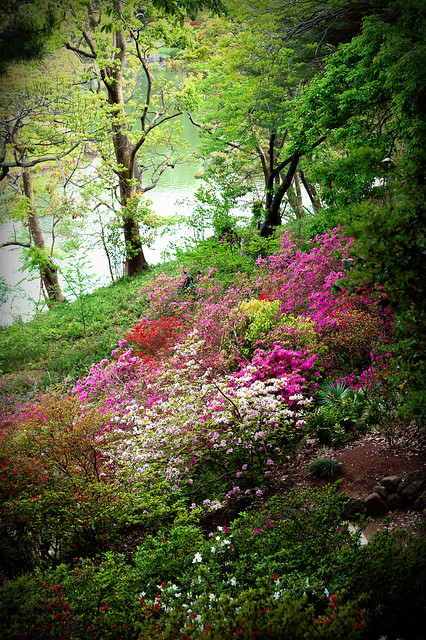Azalea Gardenscape