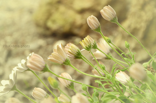 Vainilla fleurs