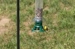 Birds in Front Yard