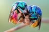 Cuddly Cuckoo Wasps