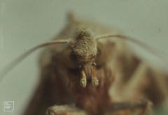 Angleshades moth portrait, 26/5/1964, Gwaelod