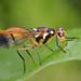 IMG_7055 Fruit fly, Tephritidae. HWW! by omtelsimon