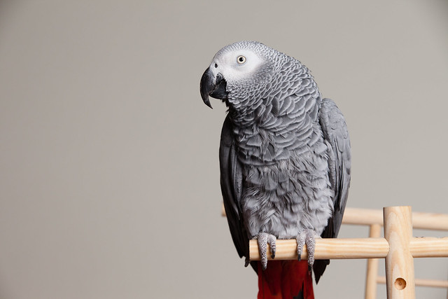African Grey Parrot, full body