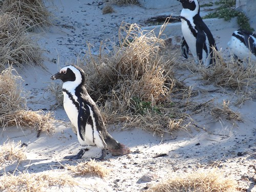 One of Sophie's travel photographs, where she manages to see penguins in South Africa!