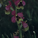 Orquídea abeja (Ophrys apifera)
