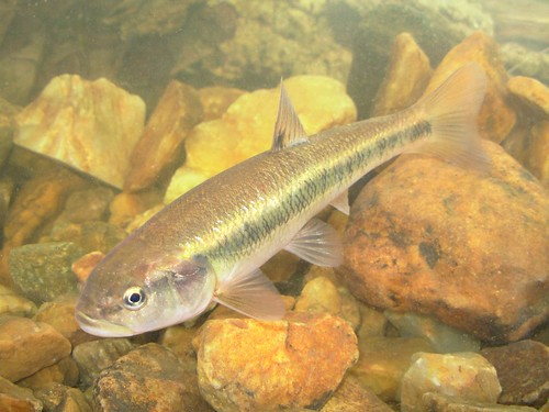 Image of Creek Chub